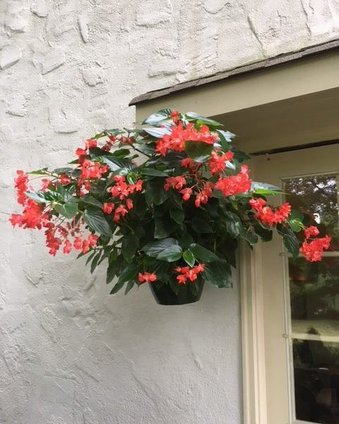 "Dragonwing Begonia ""Red"""