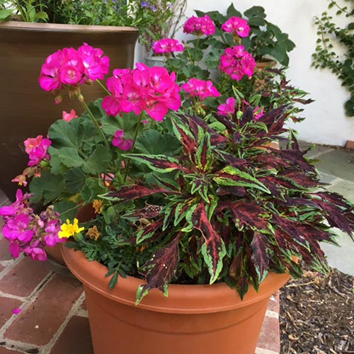 Deep-Rose-geranium-&-Chili-Pepper-coleus-Bridget'16