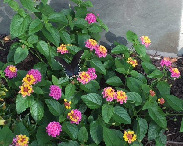 "Lantana ""Sunrise Rose"""