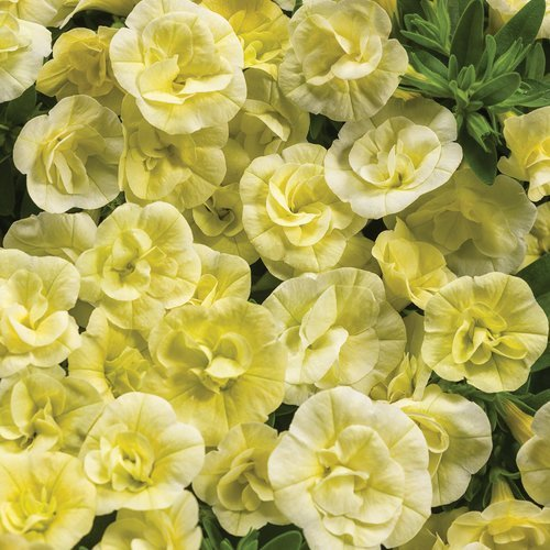 "Calibrachoa ""Superbells Double Chiffon"""