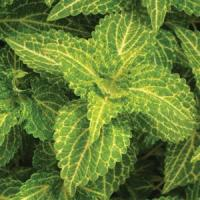 "Coleus ""Electric Lime"""