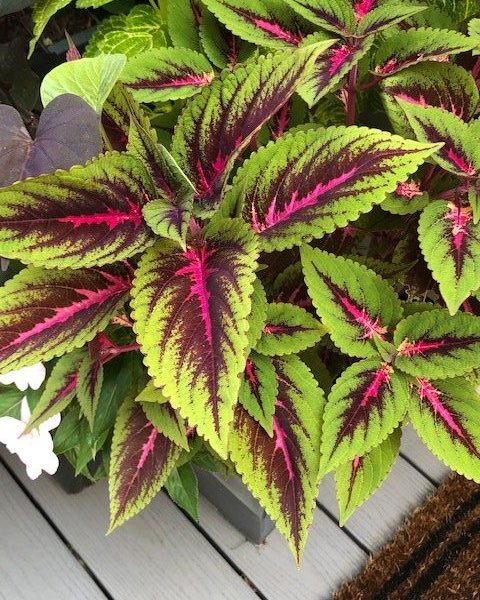 "Coleus Main Street ""Ruby Road"""