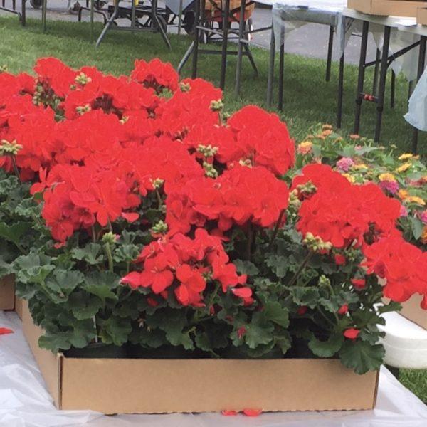 """Geraniums """"Red"""""""