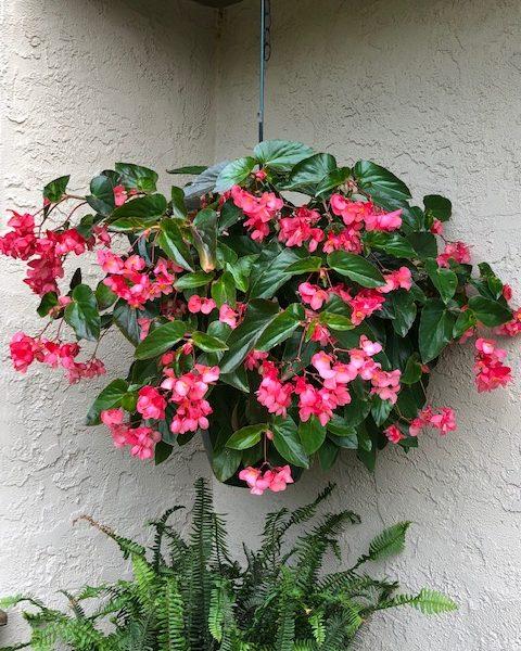 """Dragonwing Begonia """"Pink"""""""