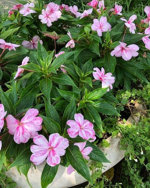 "New Guinea Impatiens ""Sonic Magic Pink"""