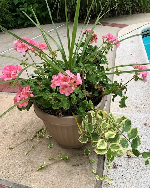 "Patio Pot Geraniums ""Americana Salmon"""