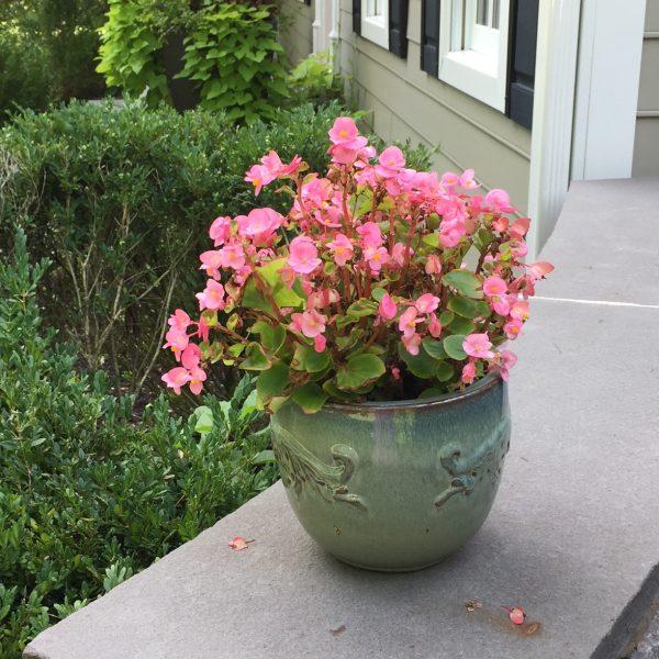 """Begonias """"Rose"""""""