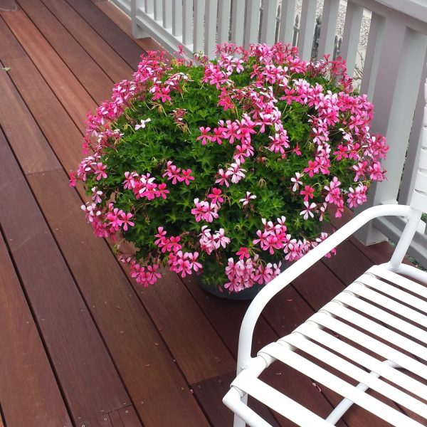 """Ivy Geraniums """"Sofie"""" Pink"""