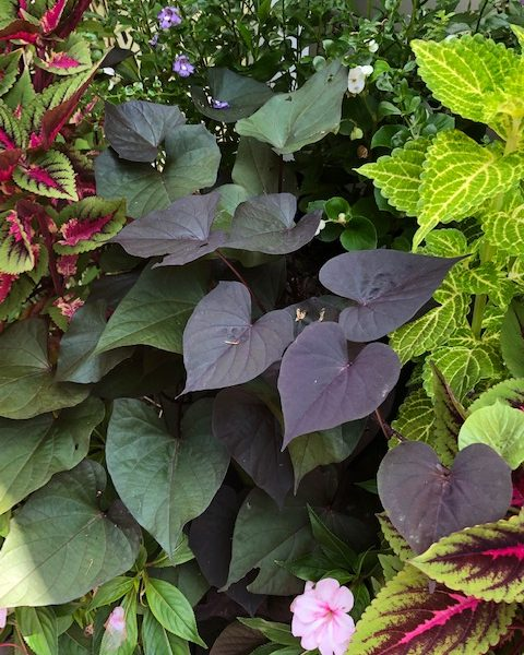 "Sweet Potato Vine ""Ace Of Spades"""