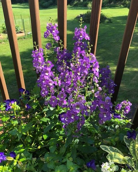 "Angelonia ""Archangel Purple"""