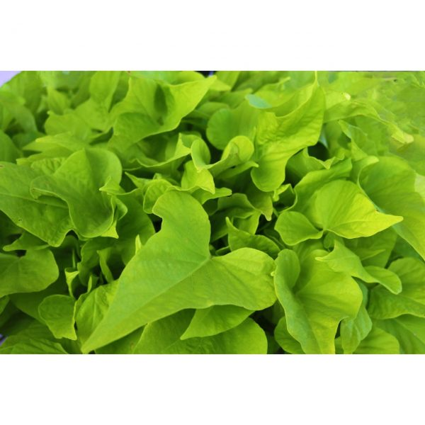 Sweet Potato Vine 'FloraMia Limon Wedge'