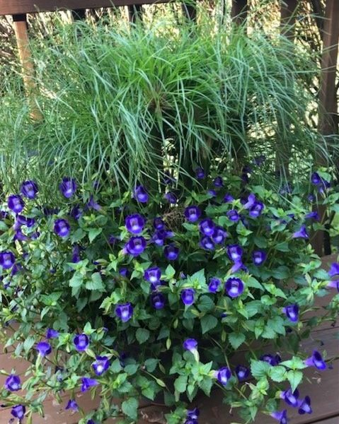 "Torenia ""Summer Wave Blue"""
