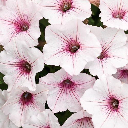 Petunias P.W. Supertunia 'Silverberry'